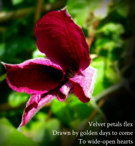 Velvet petals flex Drawn by golden days to come To wide-open hearts